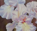 White Iris Limited Print