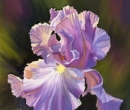 Purple  Iris Limited Print